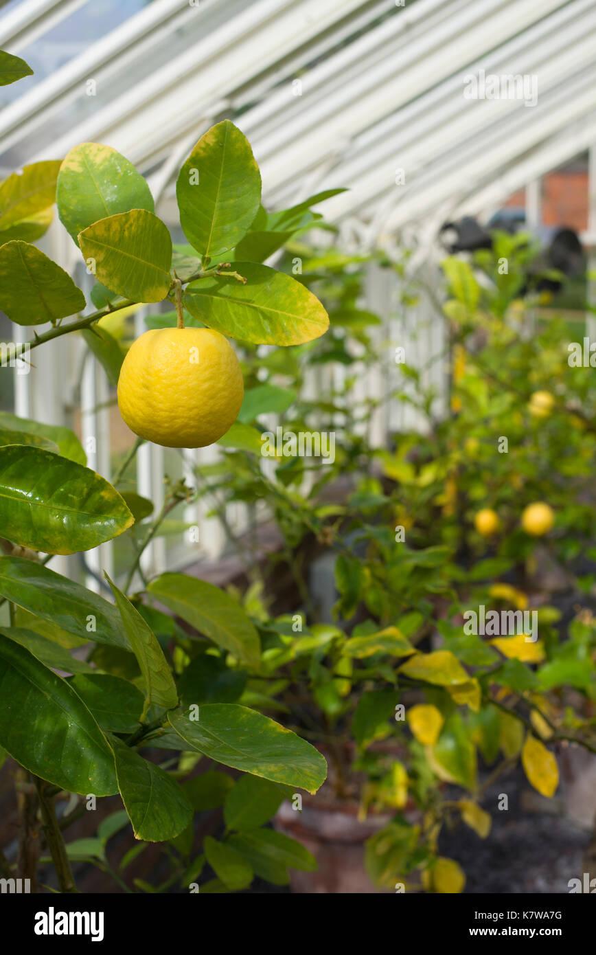Lemon 'Ponderosa' tree in greenhouse - Stock Image