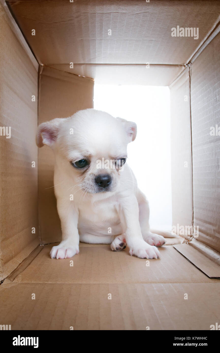 Sad puppy into cardboard box. Sadness, loneliness, socialization problems and shelter theme - Stock Image