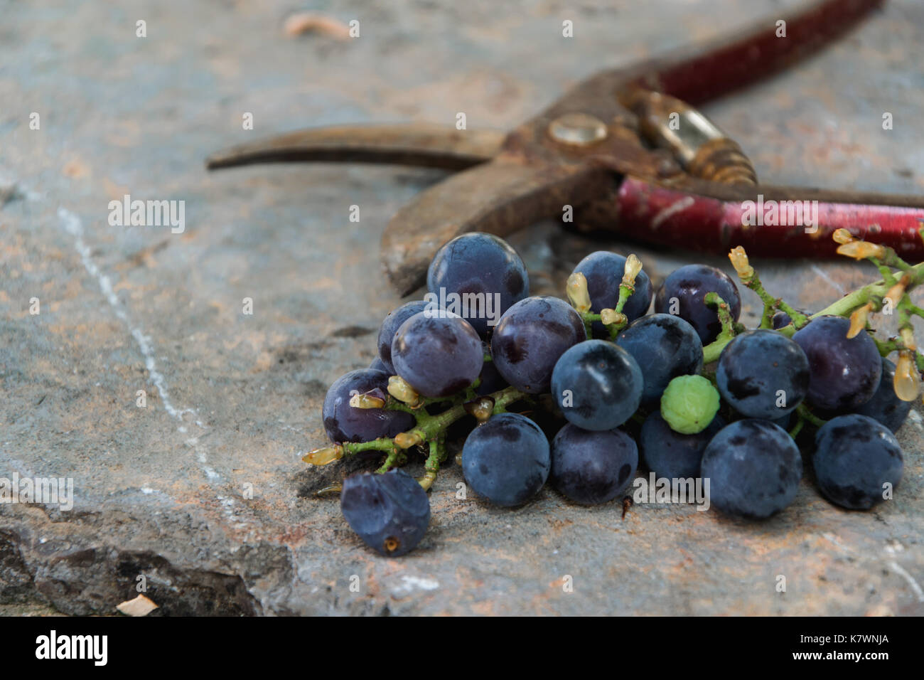 Grape bunch and scissors on rustic table Stock Photo
