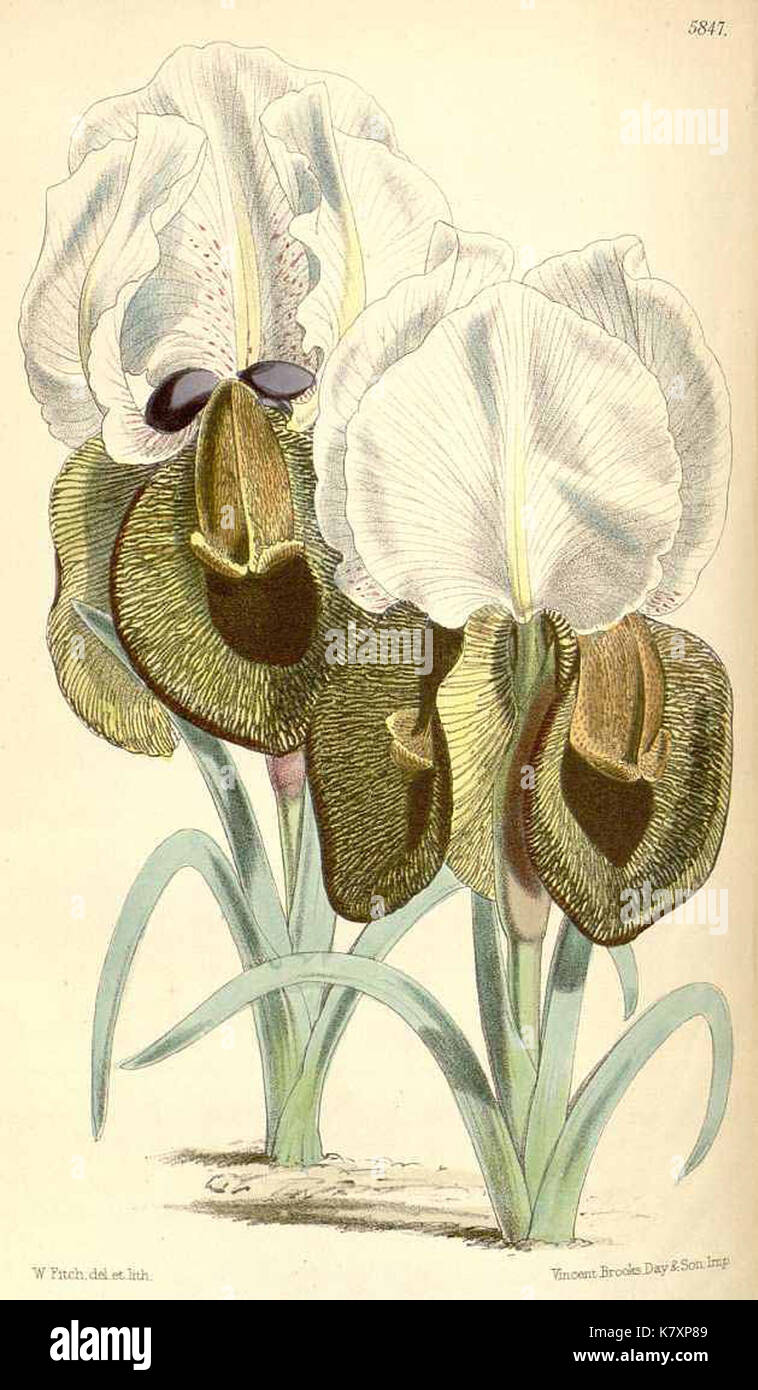Iris iberica by WH Fitch for Curtis's Botanical Magazine - Stock Image