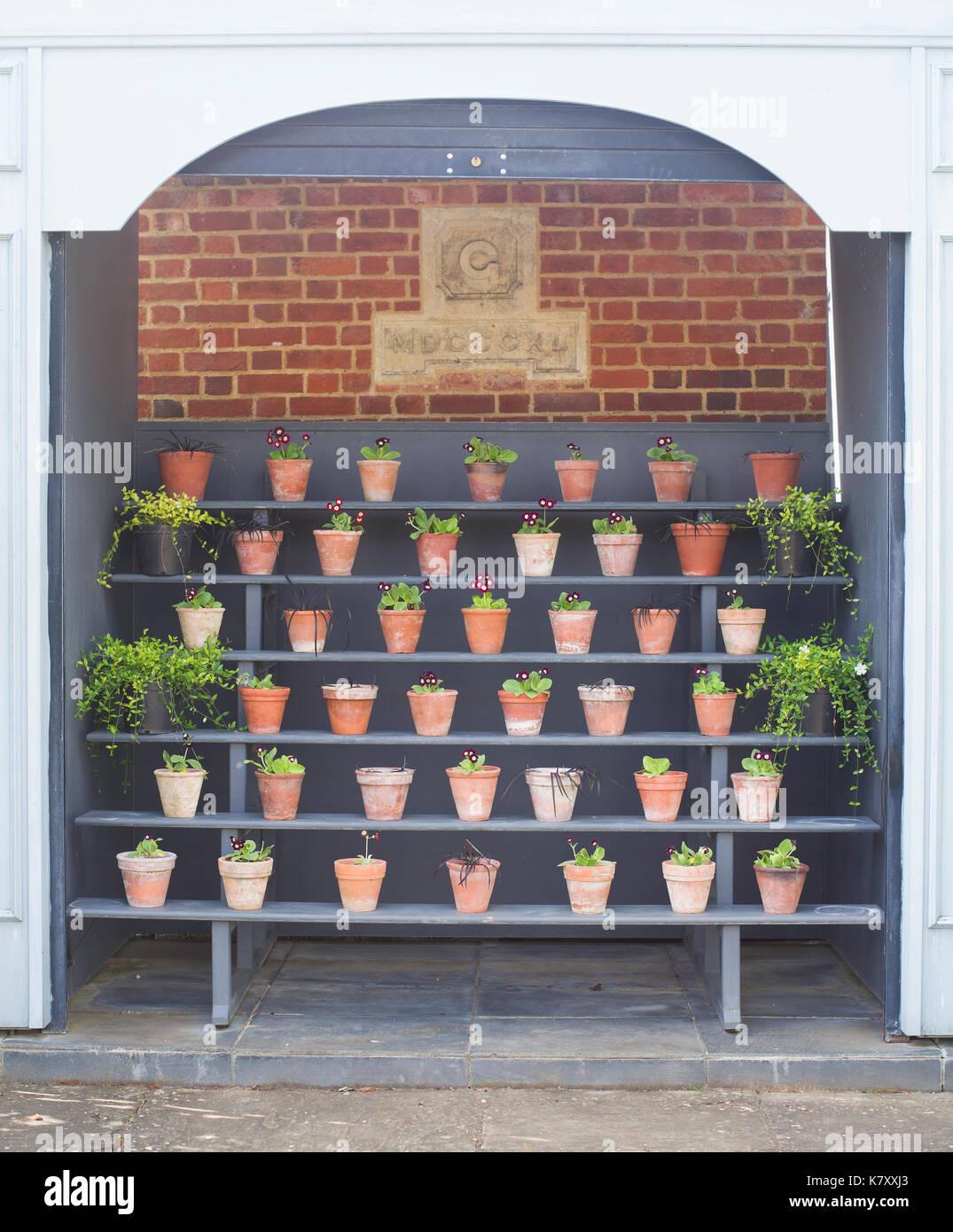 Shelves of primula pots Stock Photo