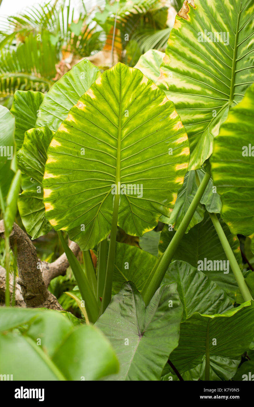 Sri Lankan palm in greenhouse - Stock Image