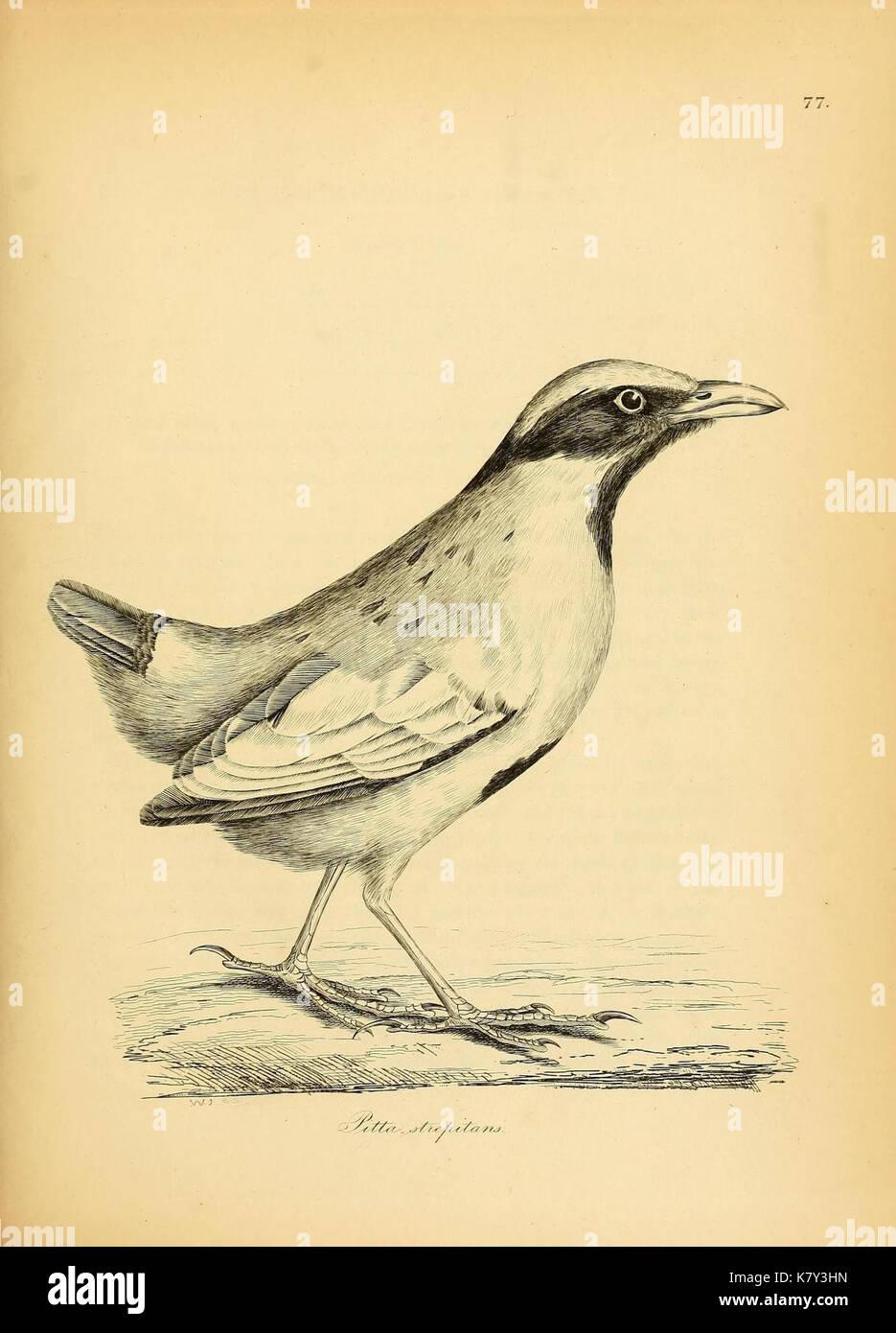Illustrations of ornithology (Plate 77) (7748003260) - Stock Image