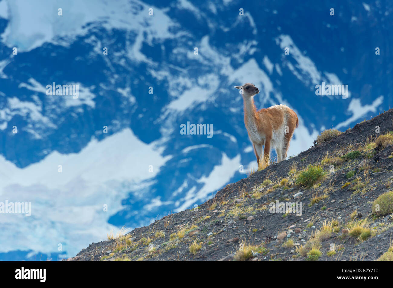 Guanaco (Lama guanicoe) on a ridge, Torres del Paine National Park, Chilean Patagonia, Chile - Stock Image