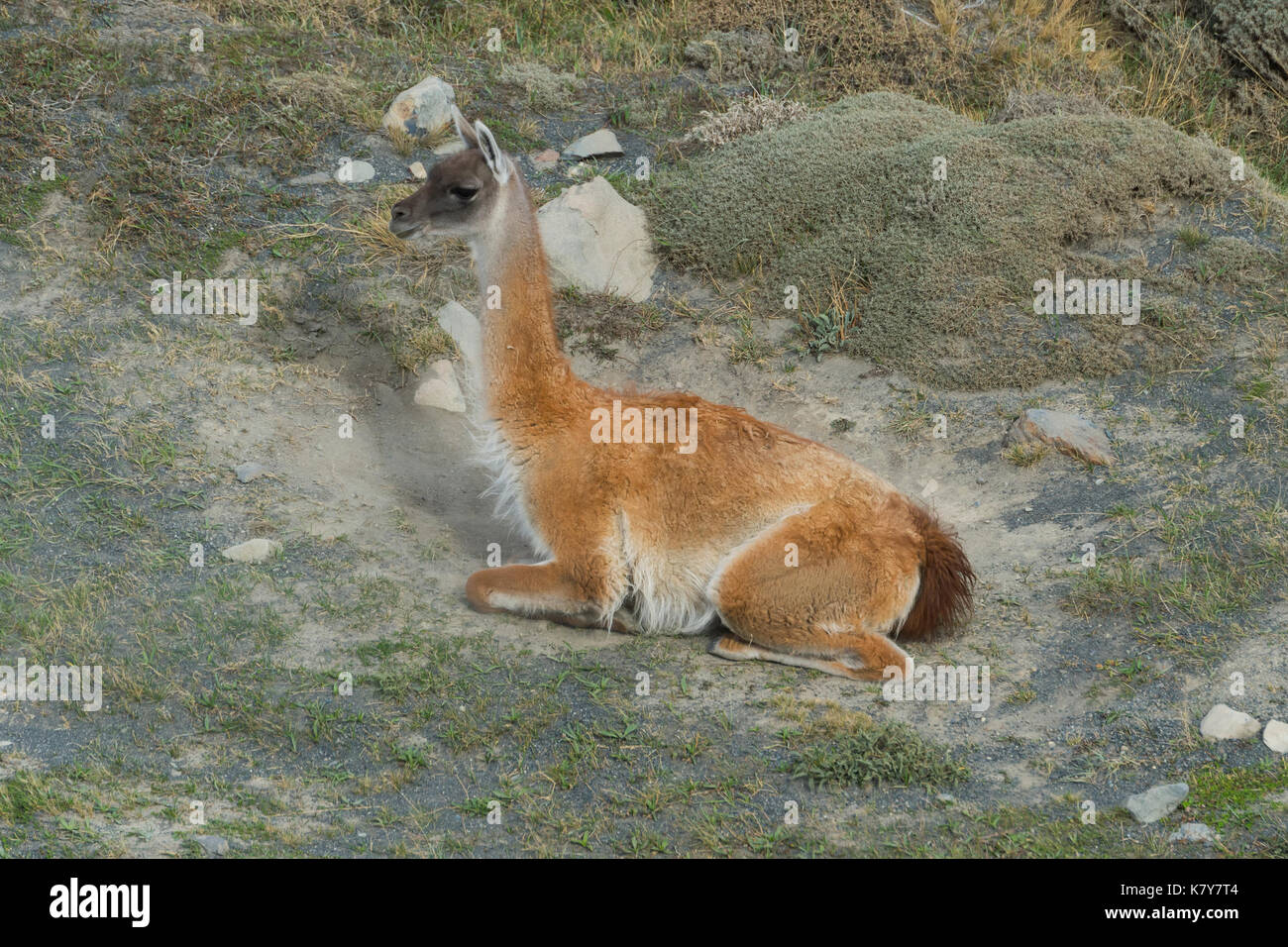 Guanaco (Lama guanicoe) rolling in the dust, Torres del Paine National Park, Chilean Patagonia, Chile - Stock Image
