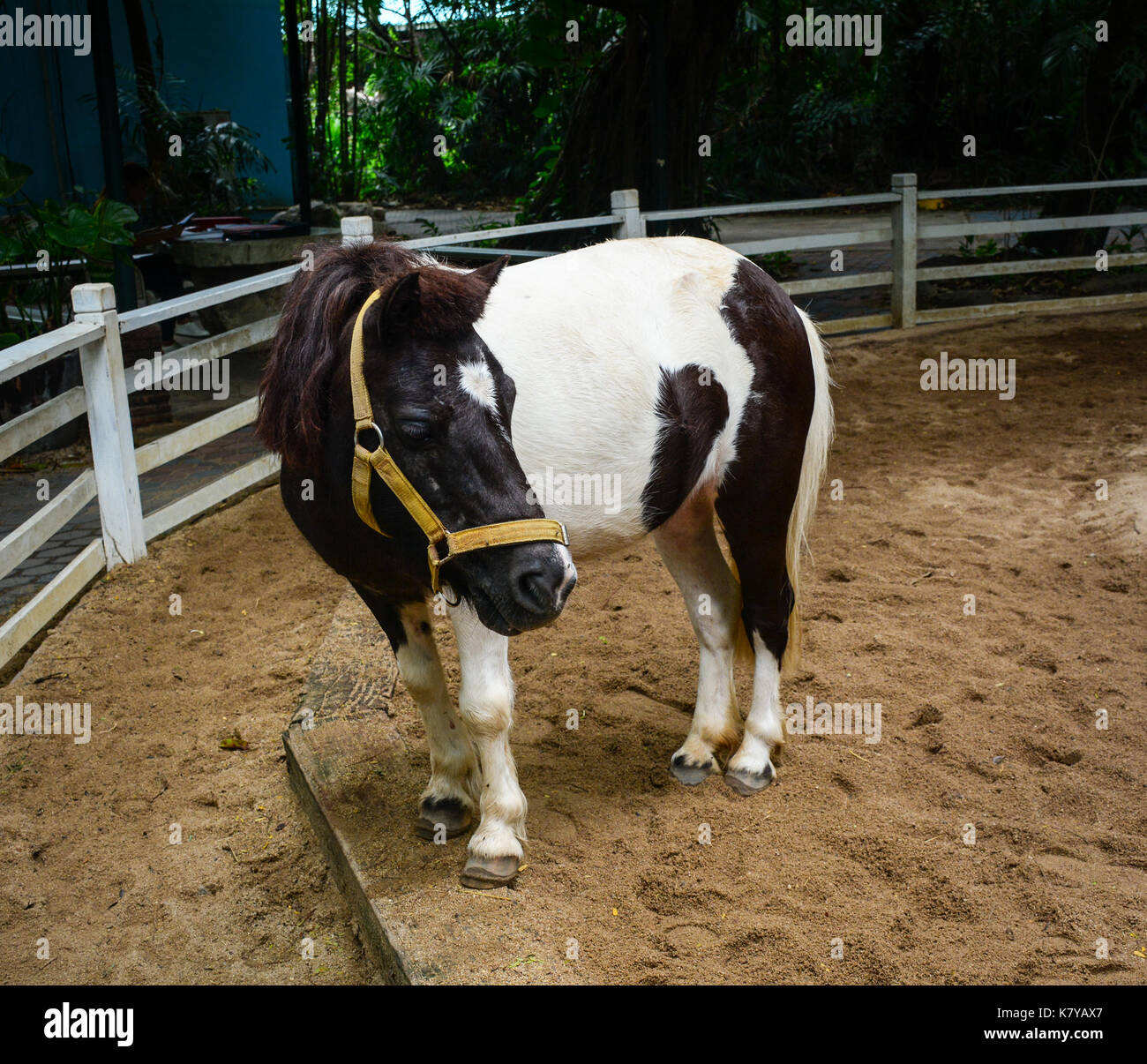 A pony standing in case at safari park in Bangkok, Thailand. Stock Photo