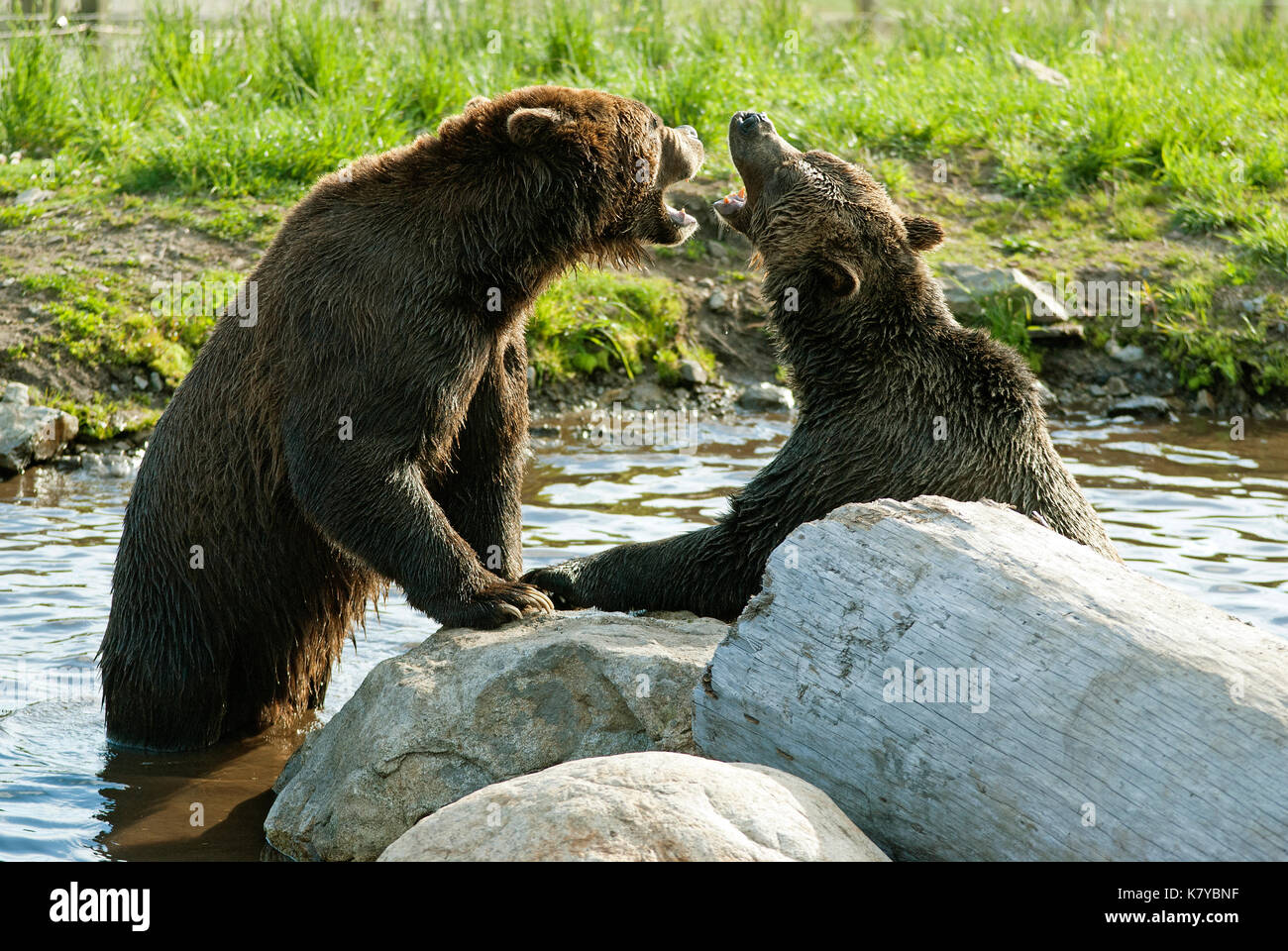 Grizzly bears (Ursus arctos horribilis) playing in wildlife refuge at Grouse Mountain, Vancouver, British Columbia, Canada - Stock Image