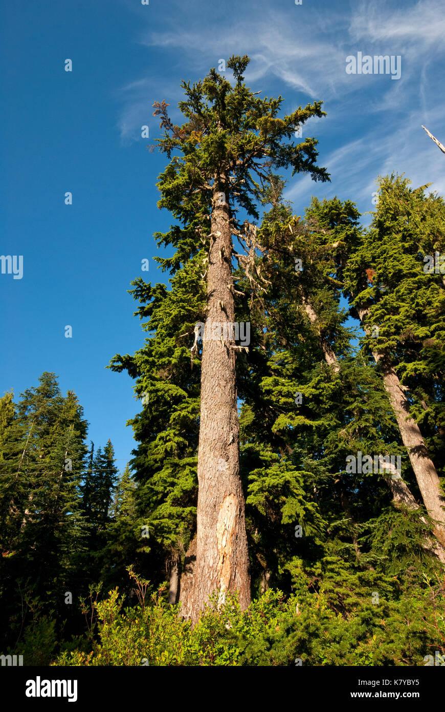 Douglas firs (Pseudotsuga menziesii) at Grouse Mountain, Vancouver, British Columbia, Canada - Stock Image