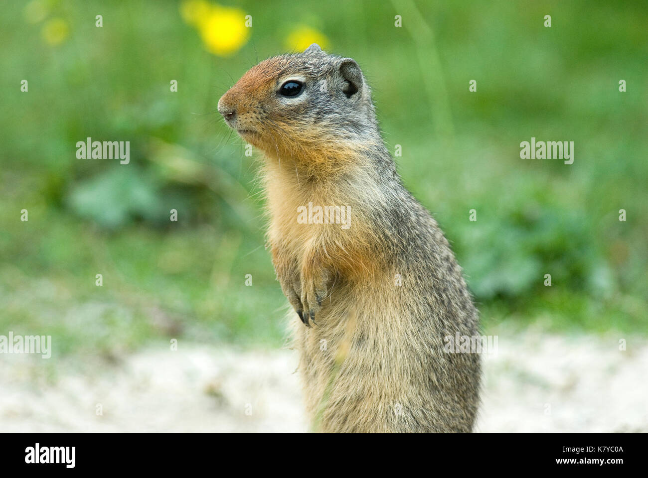 Columbian ground squirrel (Spermophilus columbianus), British Columbia, Canada Stock Photo