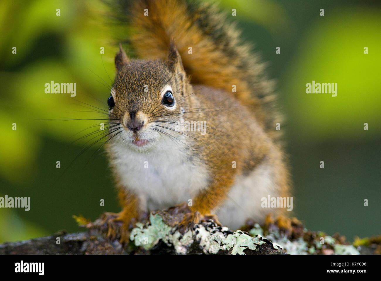American red squirrel (Tamiasciurus hudsonicus), Tongass National Forest, Alaska, USA - Stock Image