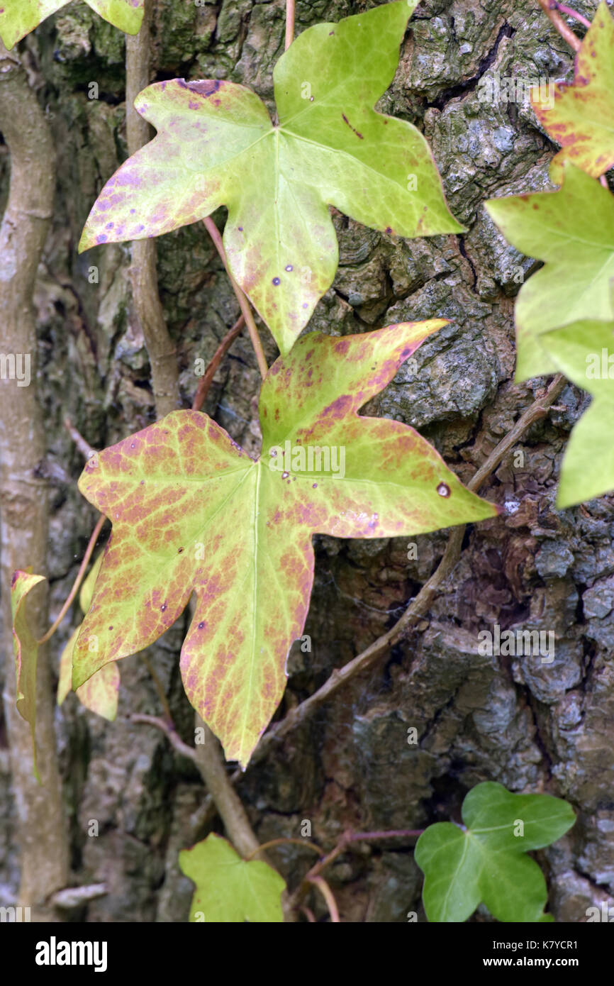 ivy leaves in a green and red colour in early autumn growing on the side of a larger tree with the bark showing in the background. nature and plants. - Stock Image