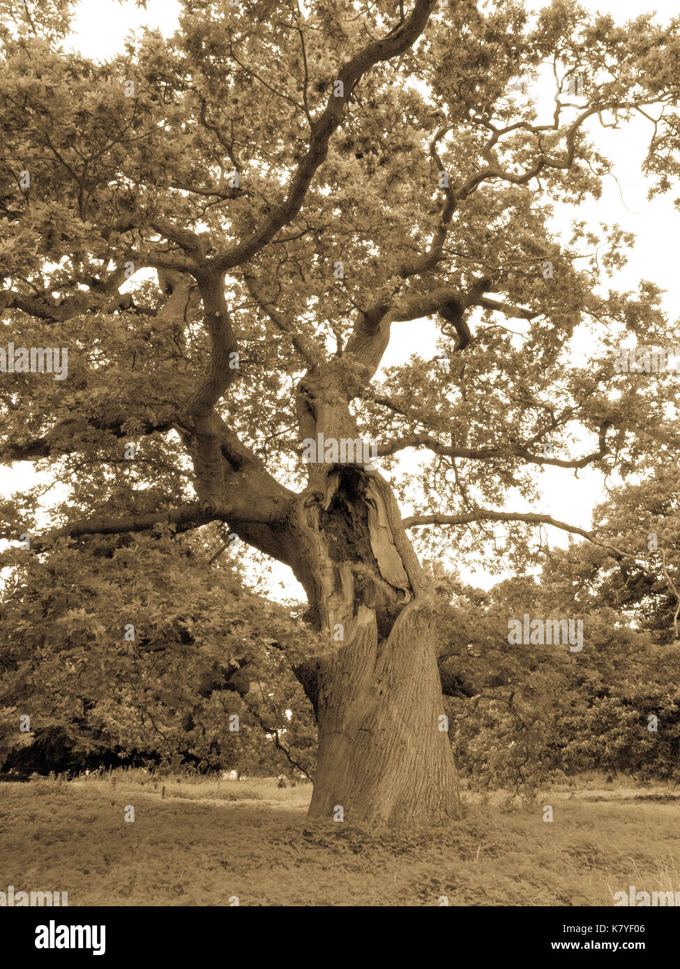 Perseverance: Ancient Oak Tree with Massive Gash in Trunk (Antique Monotone image) - Stock Image