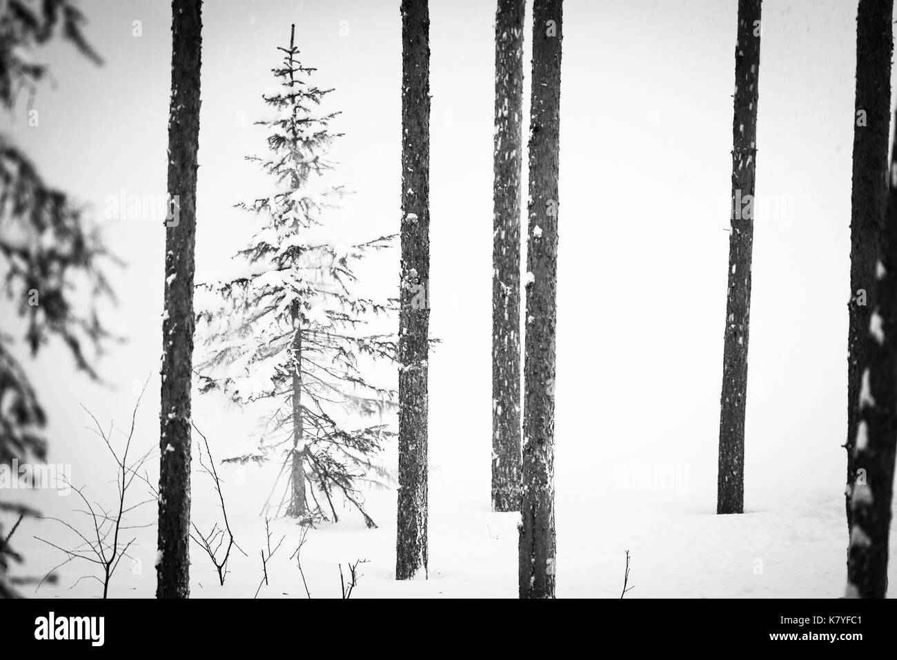 Part of a series of a snowy scene with a pine tree emerging from the white, Finland - Stock Image