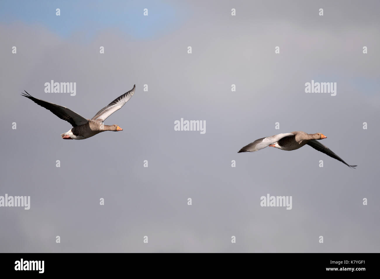 Greylag Geese Anser anser in the waterfowl family Anatidae flying over The Serpentine in Hyde Park, London. Pair. - Stock Image