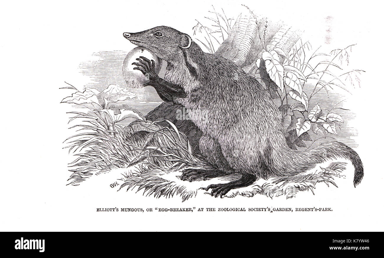 Elliot's Mongoose (the Egg Breaker) new arrival at Regent's Park Zoo, 1848 Stock Photo