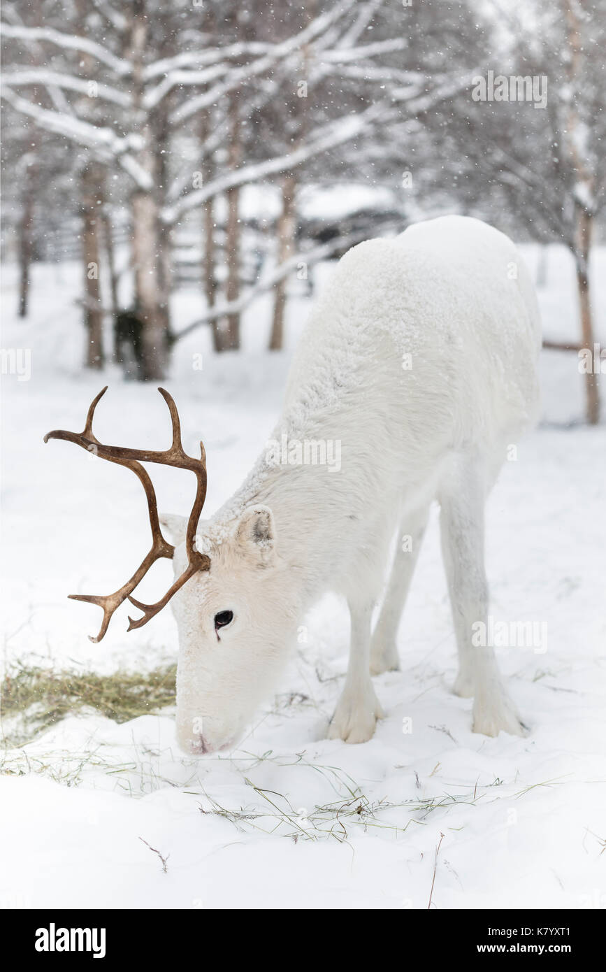 Reindeer feeding in the snow, Lapland, Finland - Stock Image
