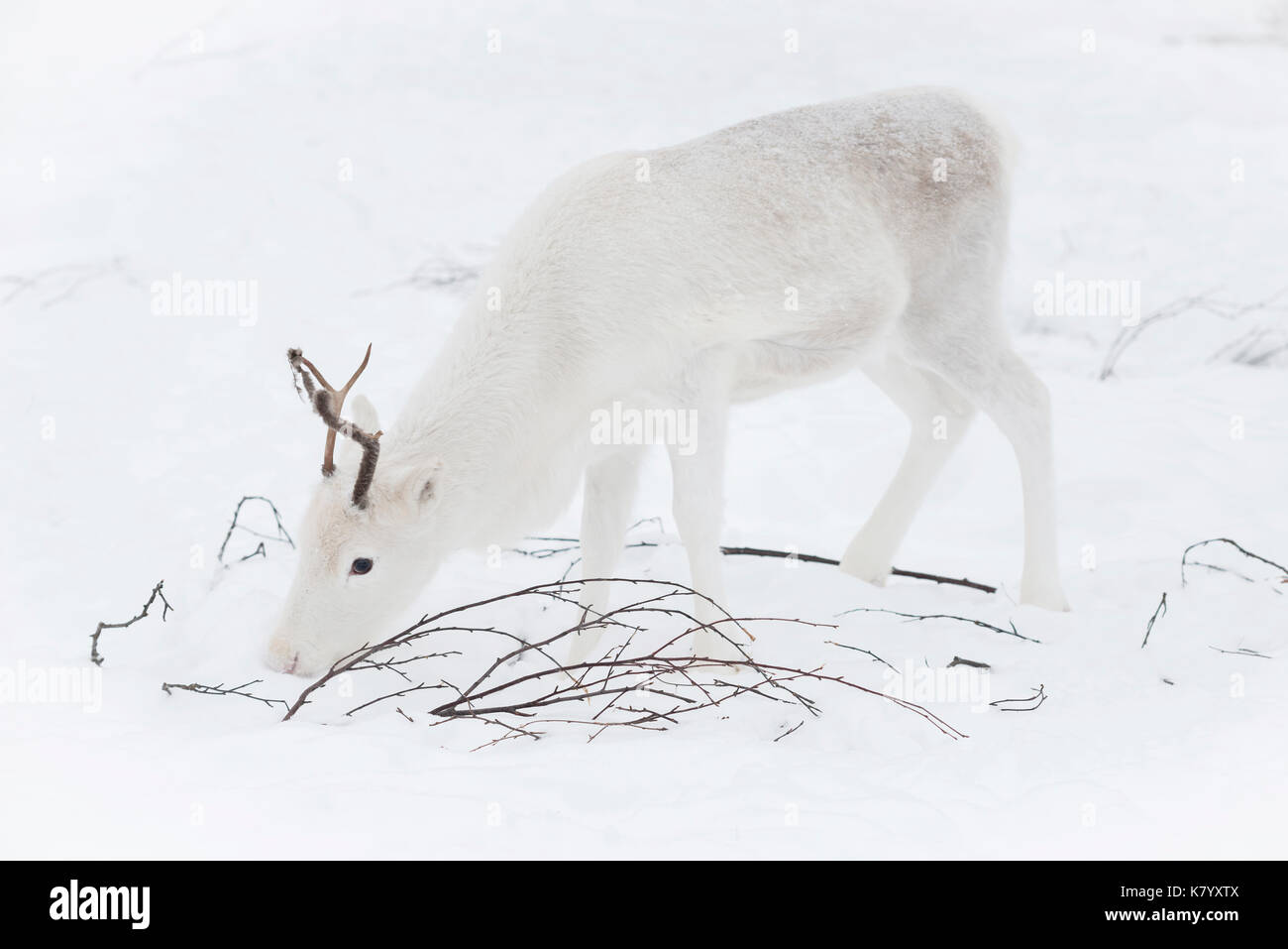 Baby Reindeer feeding in the snow, Lapland, Finland Stock Photo