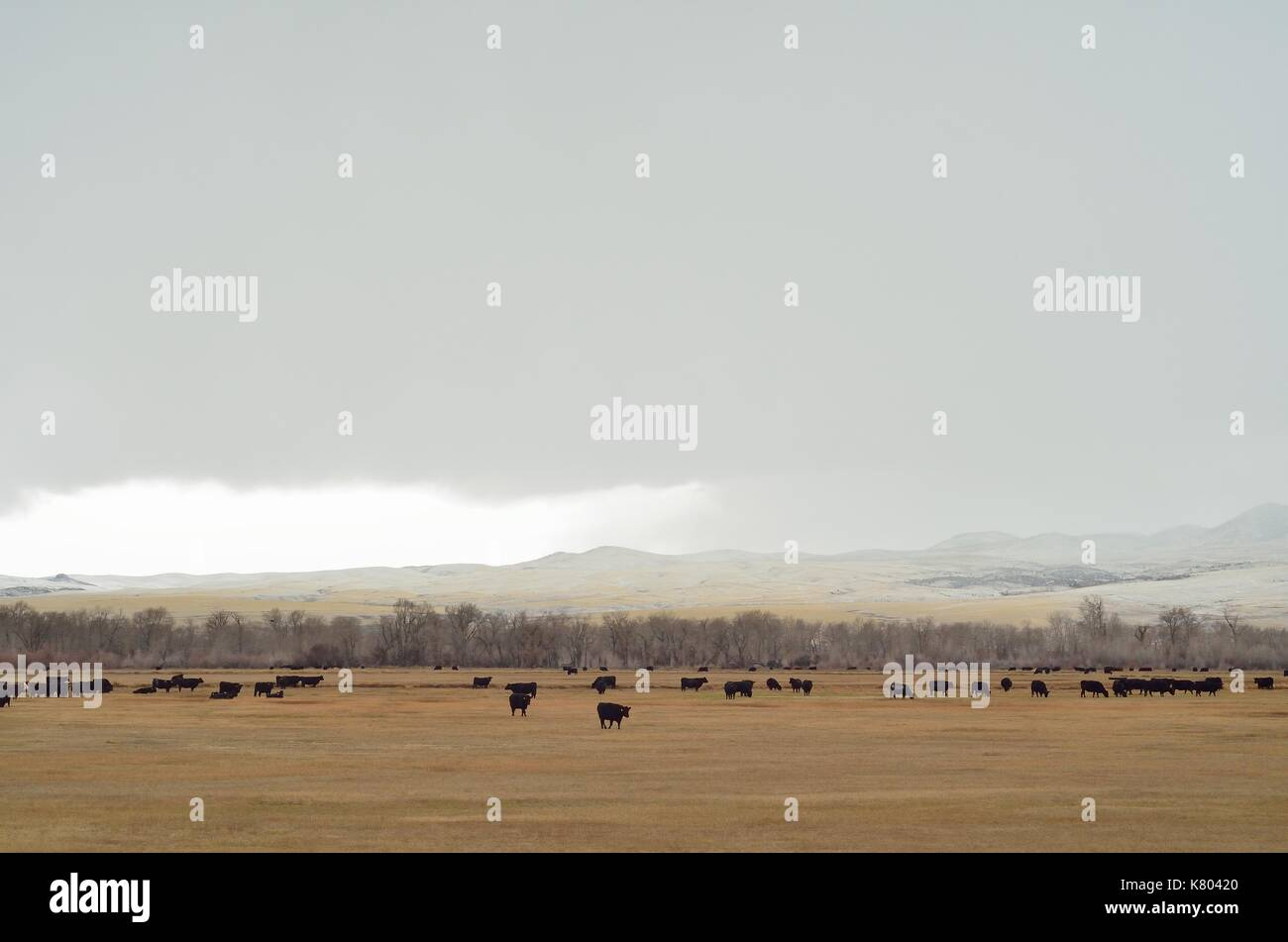 Cows in field with approaching snow squall. - Stock Image