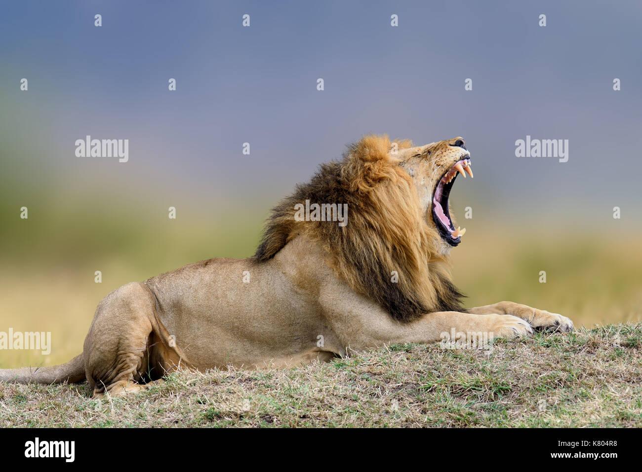 African lions, Panthera leo, Masai Mara National Park, Kenya, Africa. Cat in nature habitat. Greeting of cats - Stock Image