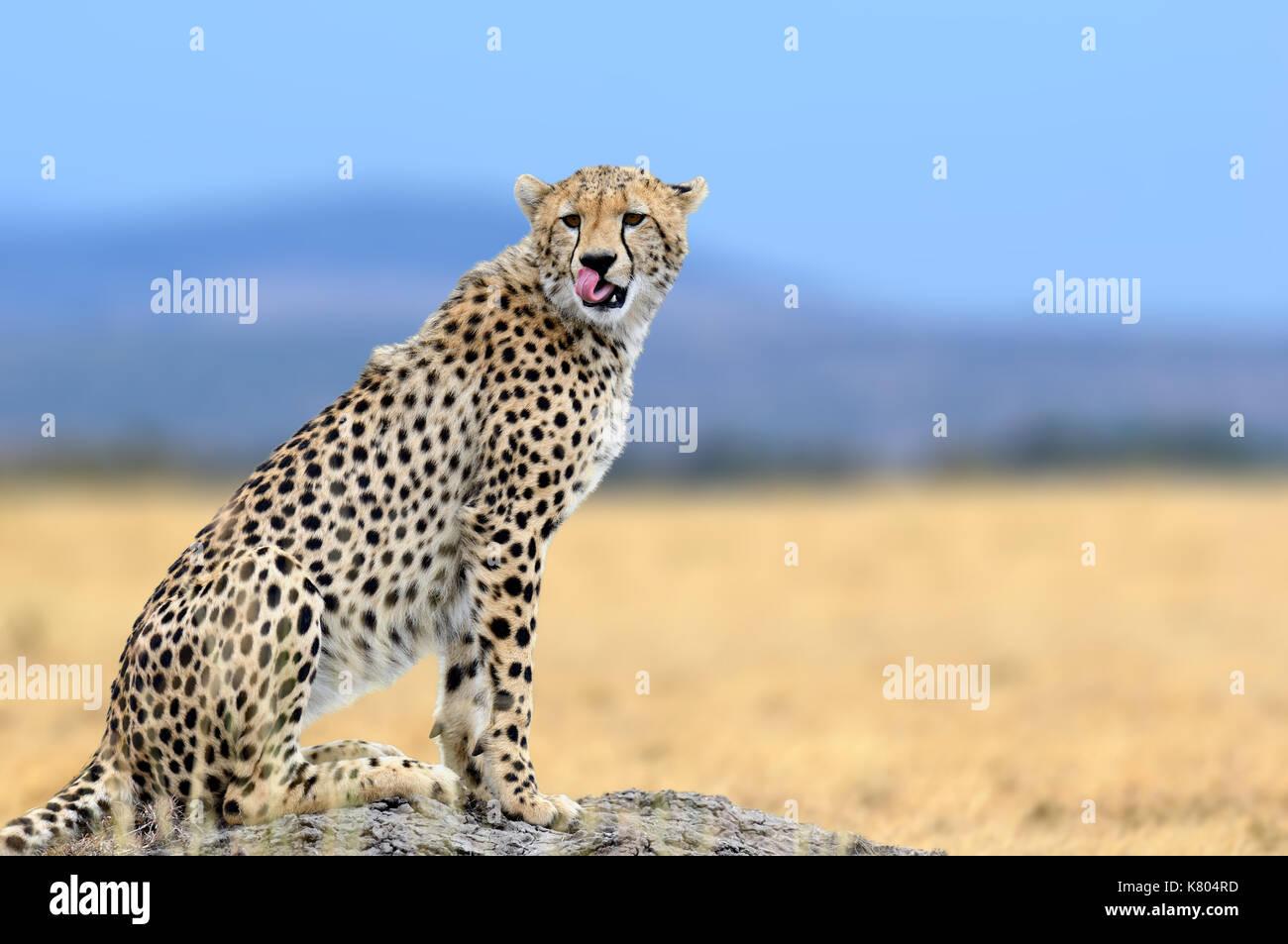 African cheetah, Masai Mara National Park, Kenya, Africa. Cat in nature habitat. Greeting of cats - Stock Image