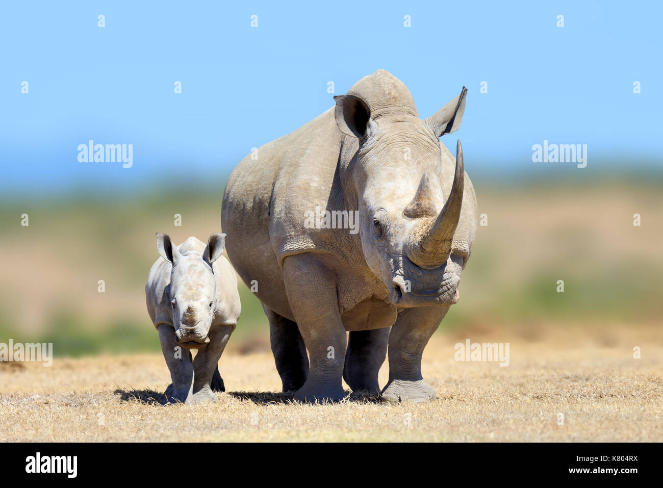 White rhinoceros in the nature habitat, Kenya, Africa. Wildlife scene from nature. Big animal from Afrika - Stock Image