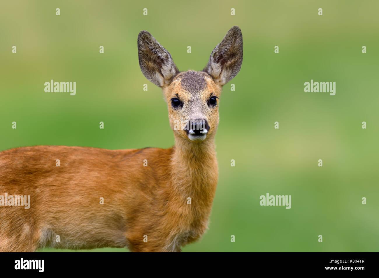Roe deer, Capreolus capreolus, Animal in grass. Spring in the nature. Summer deer on field. - Stock Image