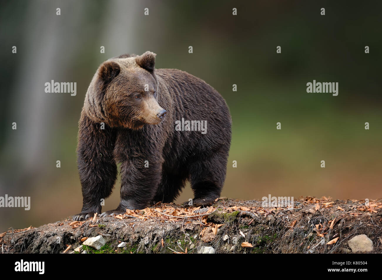 Big brown bear in the nature habitat. Wildlife scene from nature. Dangerous animal in nature - Stock Image