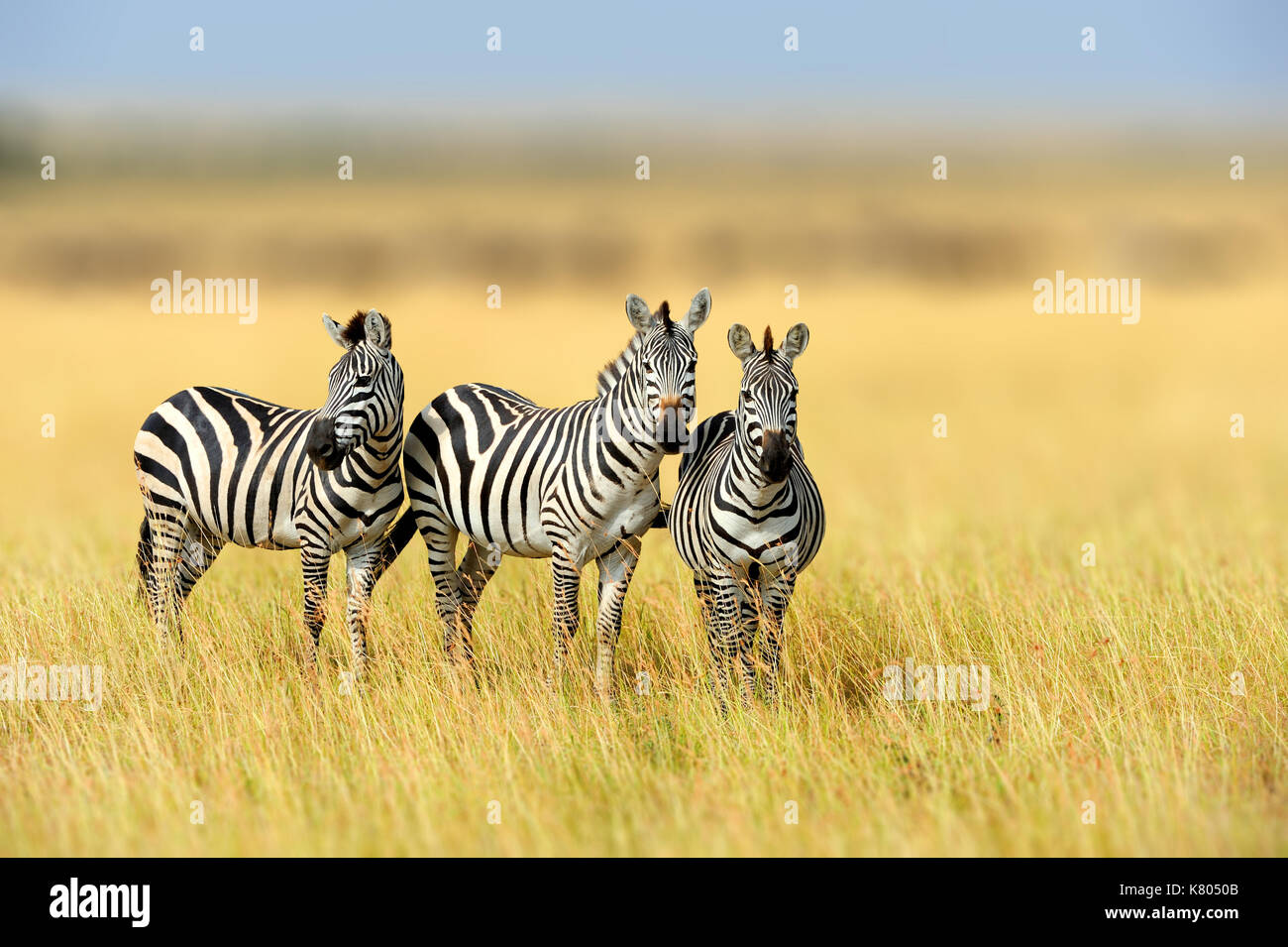 Zebra in the grass nature habitat, National Park of Kenya. Wildlife scene from nature, Africa - Stock Image