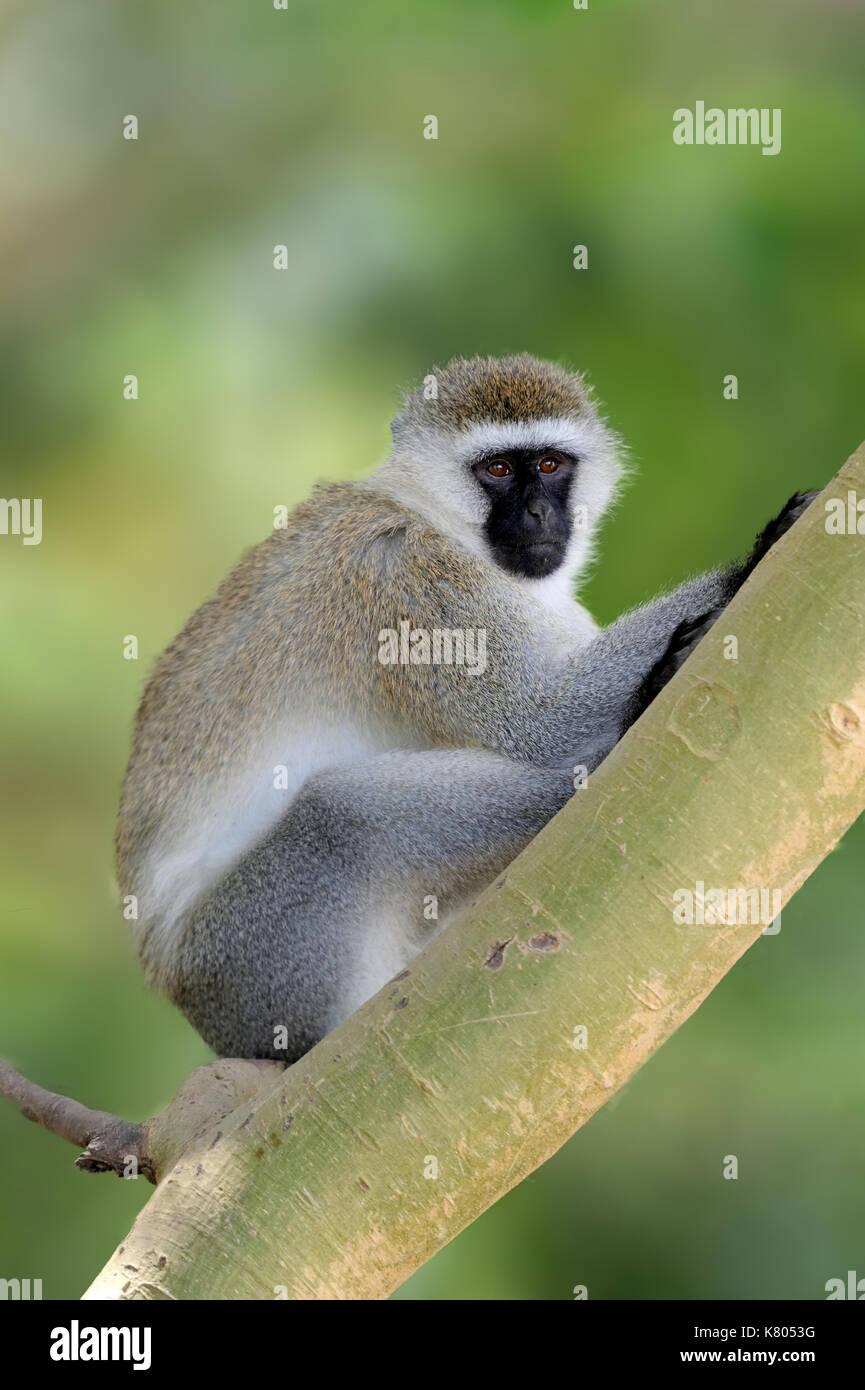Vervet monkey sitting on branch, nature habitat, Sri Lanka. Feeding scene with langur. Wildlife of Sri Lanka. Monkey - Stock Photo