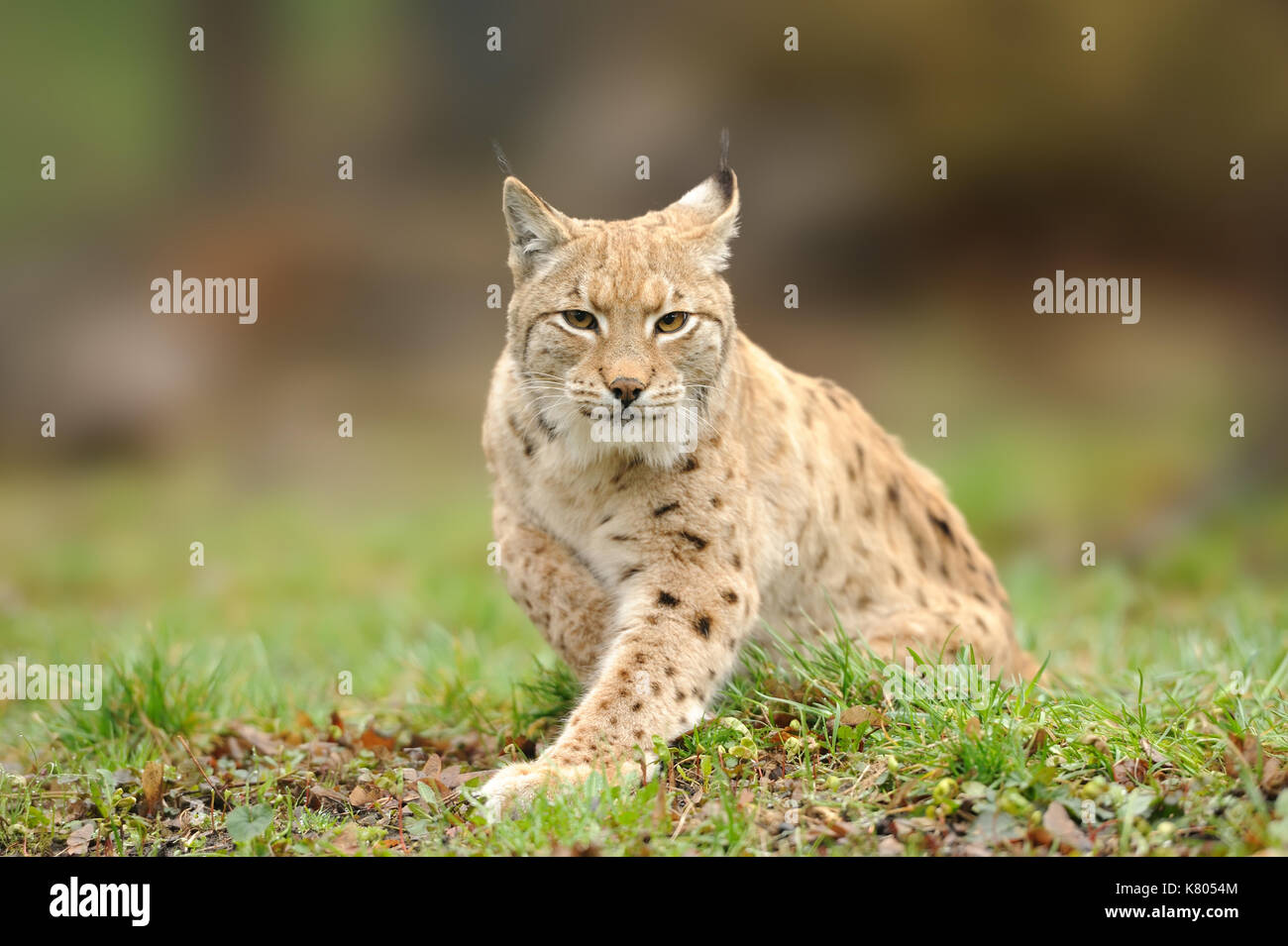 Lynx, Eurasian wild cat walking on forest in background. Beautiful animal in the nature habitat. Wildlife hunting Stock Photo