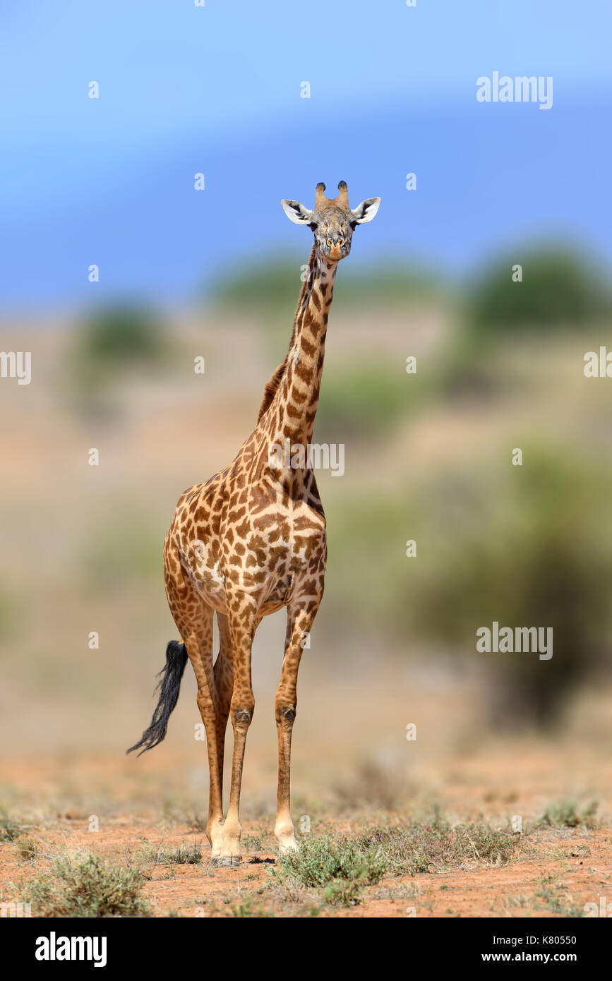 Giraffe in the nature habitat, Kenya, Africa. Wildlife scene from nature. Big animal from Africa - Stock Image