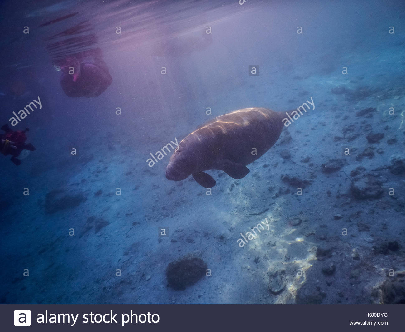 Picture of CRYSTAL RIVER (FLORIDA) AND MANATEES in the canals - Stock Image