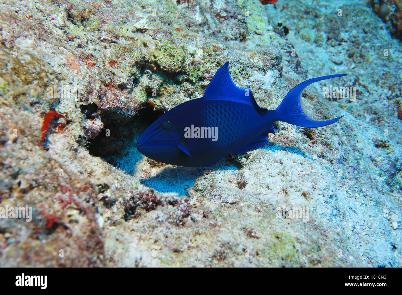Red-toothed triggerfish (Odonus niger) underwater in the tropical coral reef - Stock Image