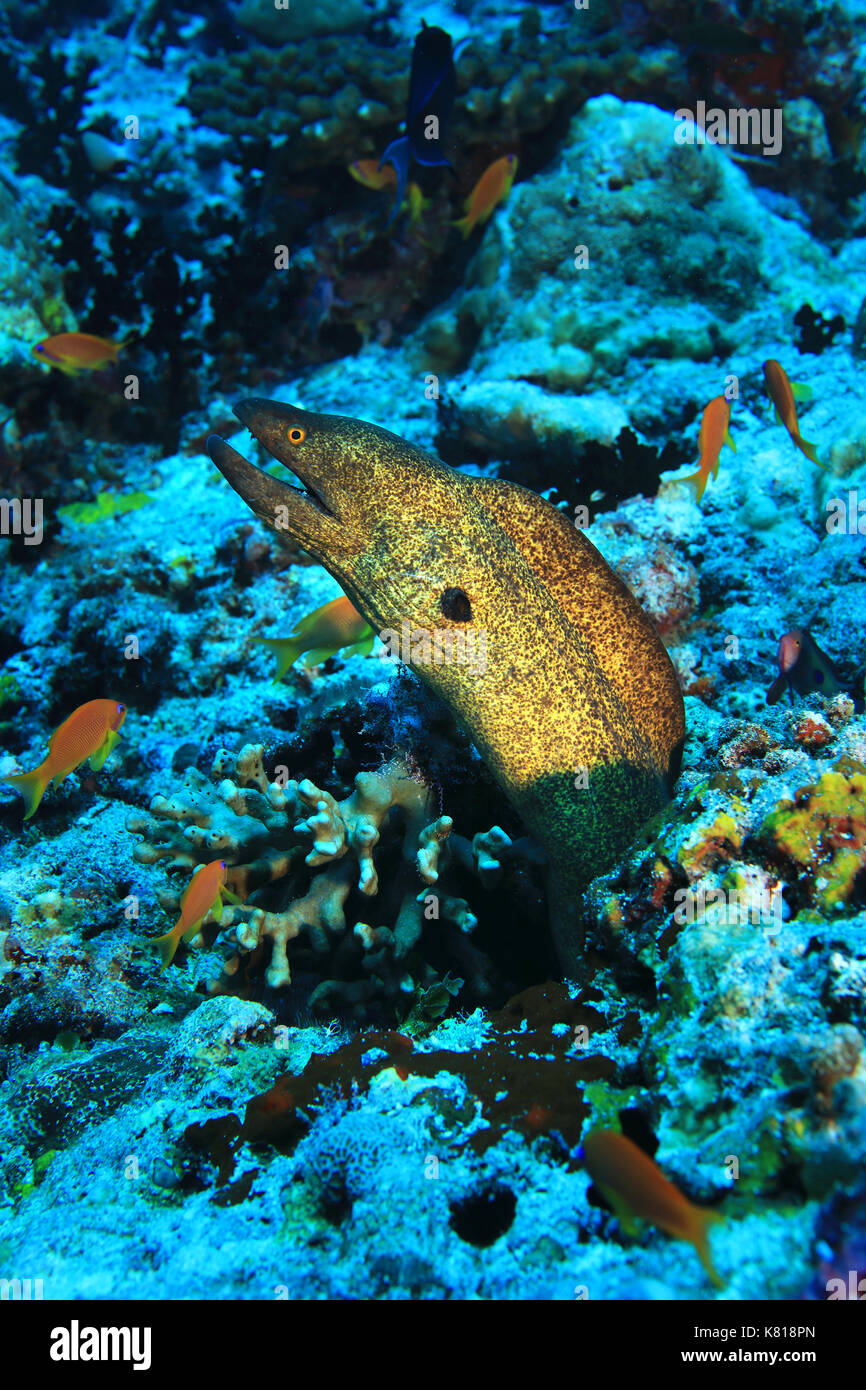 Yellow-edged moray eel (Gymnothorax flavimarginatus) underwater in the tropical coral reef - Stock Image