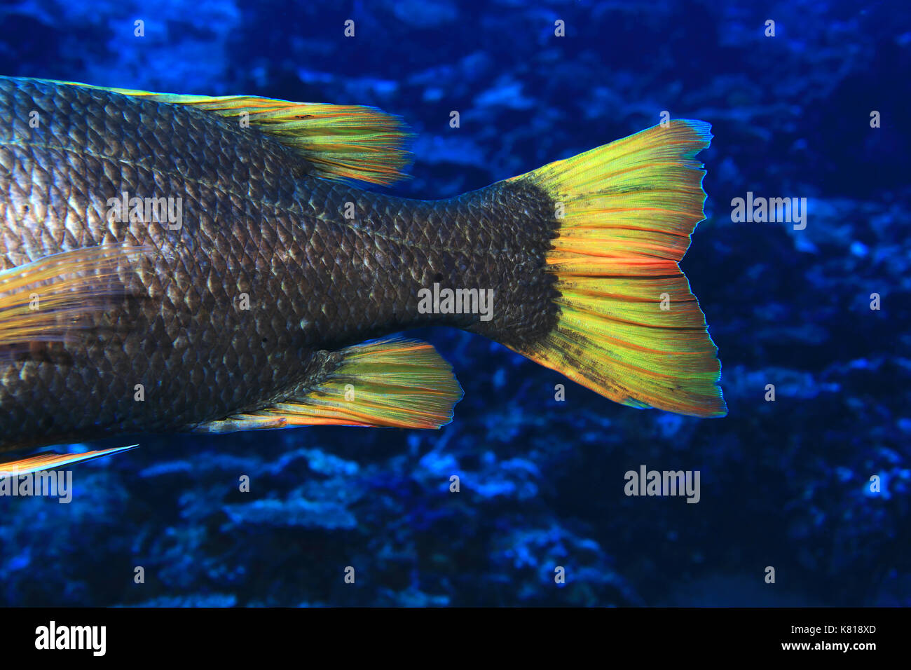 Tail of Orange-spotted emperor fish (Lethrinus erythracanthus) underwater in the tropical indian ocean - Stock Image