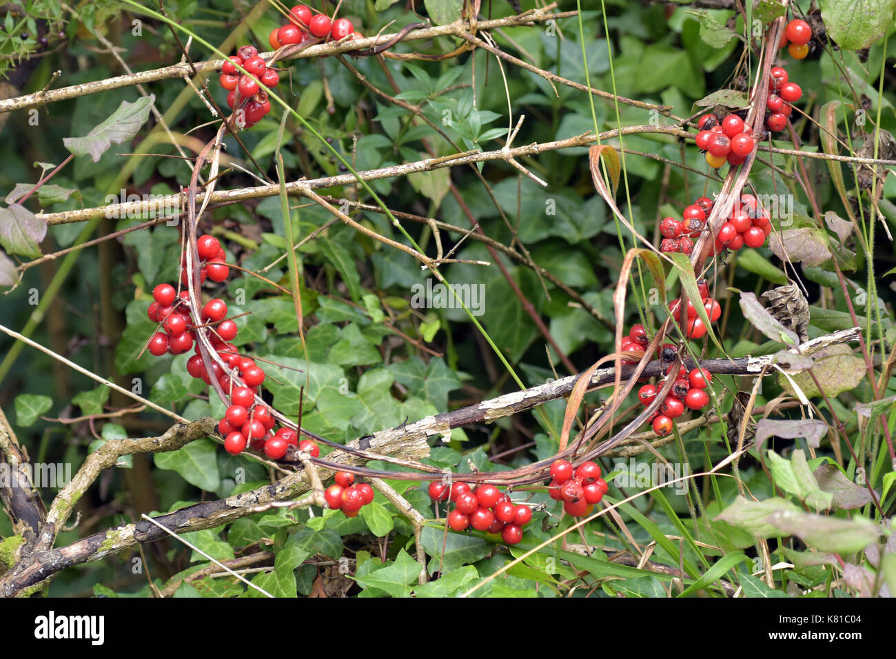 Autumn Hedgerow Berries And Green Foliage In The Fall Season Red