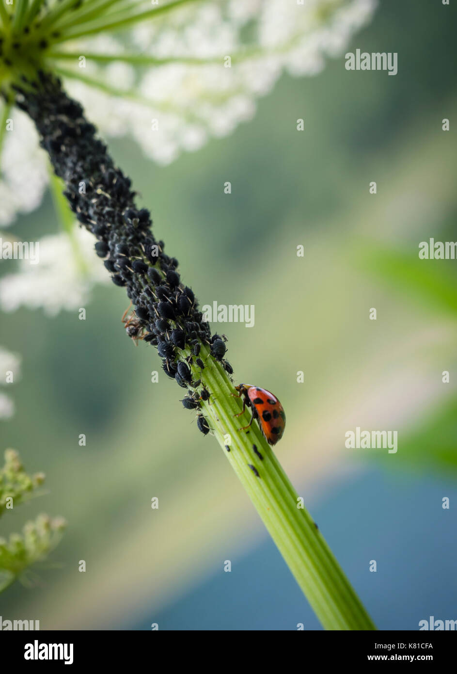 A ladybug (Coccinella septempunctata) in the midst of many plant louses (Aphidoidea). Ladybugs are considered useful Stock Photo
