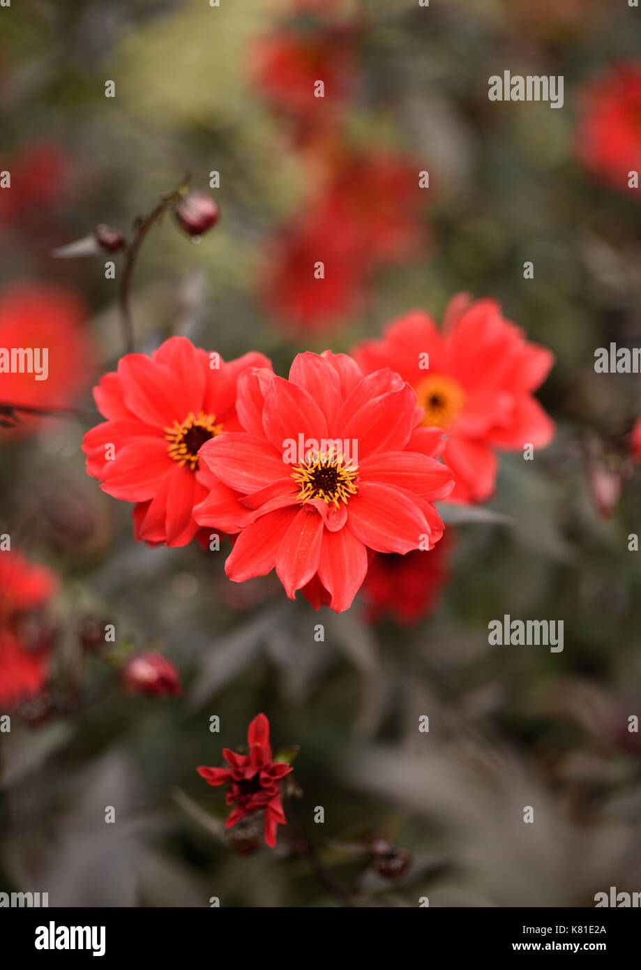 Red flowers with out of focus background - Stock Image