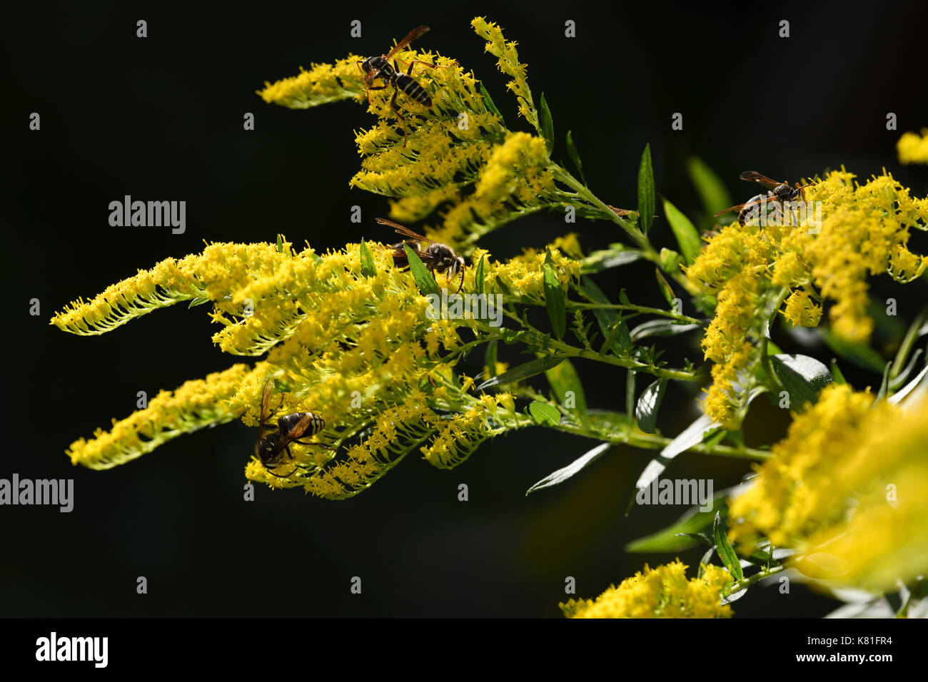 Two Varieties Of Paper Wasps Pollinating The Yellow Flowers Of A