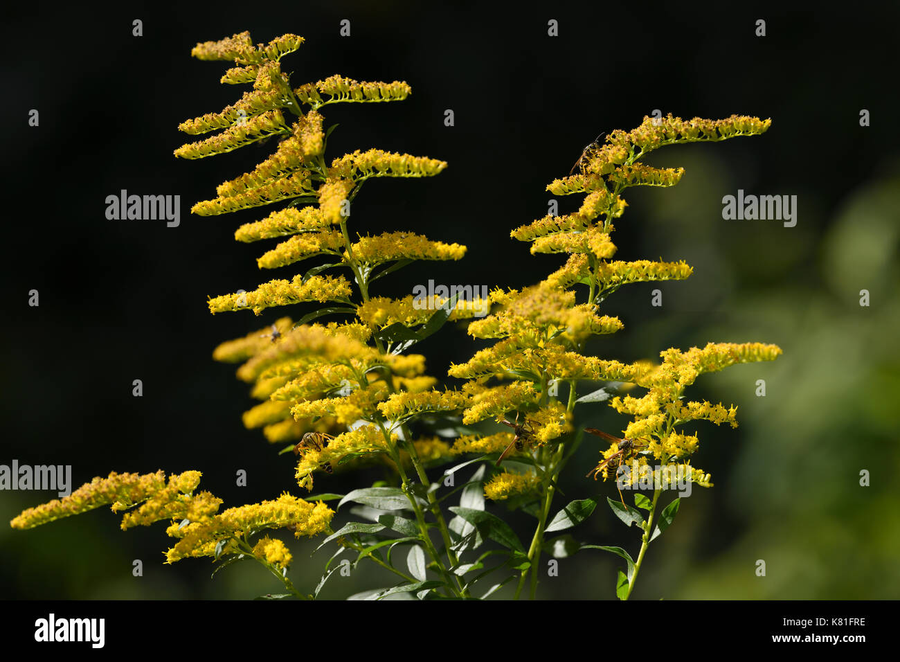 Paper Wasps And Yellowjacket Pollinating The Yellow Flowers Of A