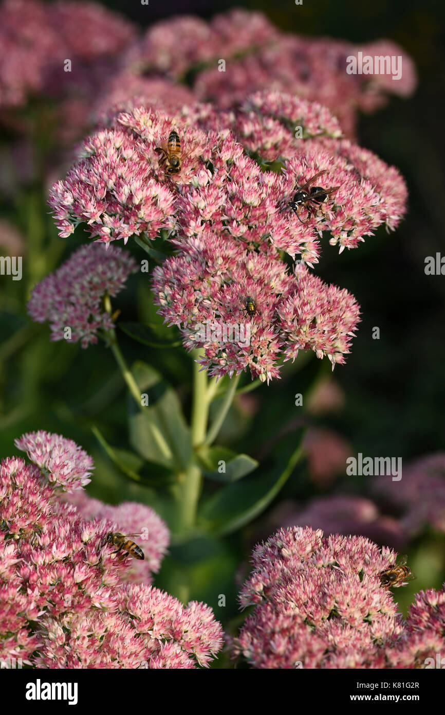 Pink Sedum Autumn Joy flowers with honeybees, fly and paper wasp feeding on nectar in Fall Toronto - Stock Image