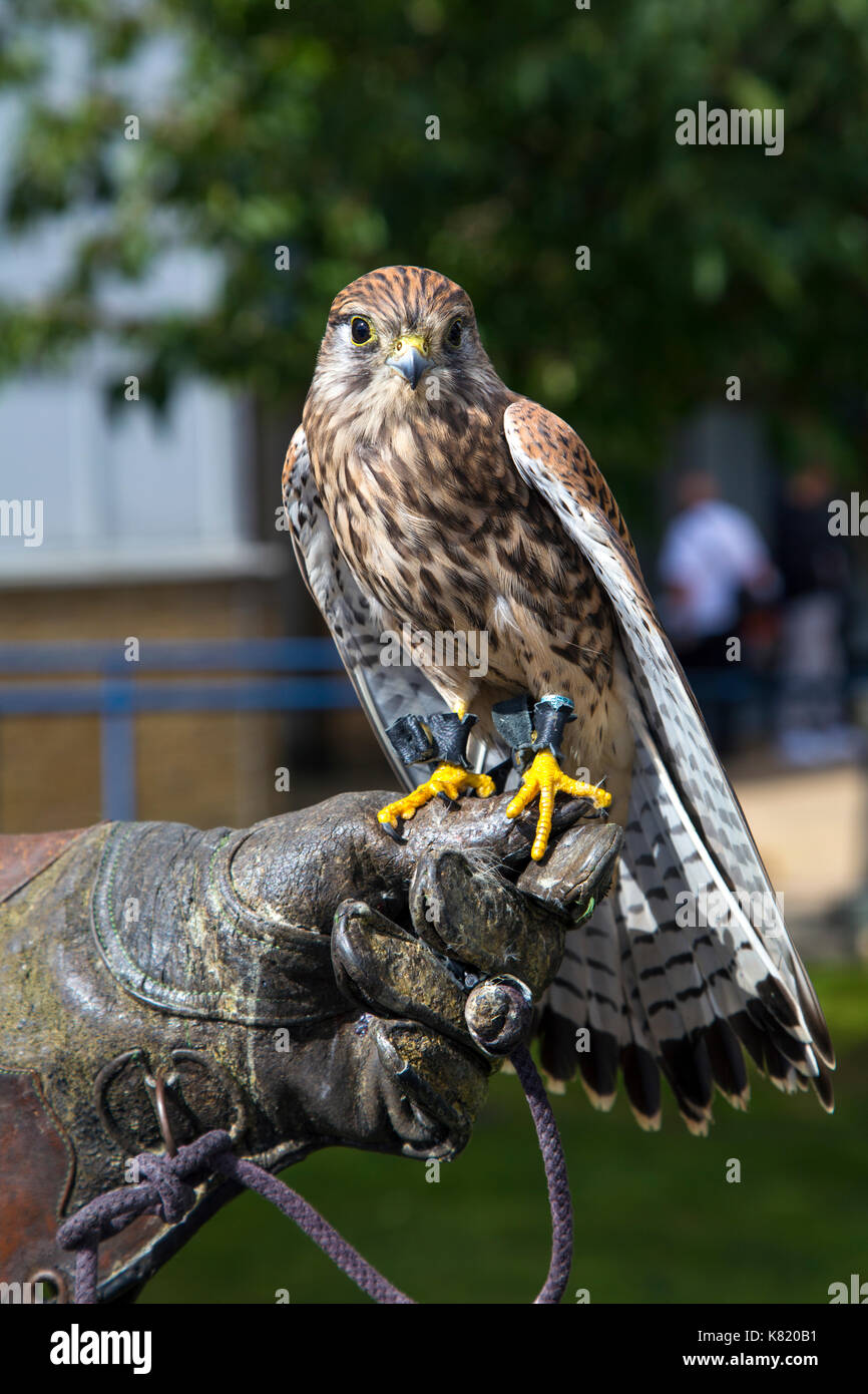 British kestrel perched on the glove of a falcon handler - Stock Image