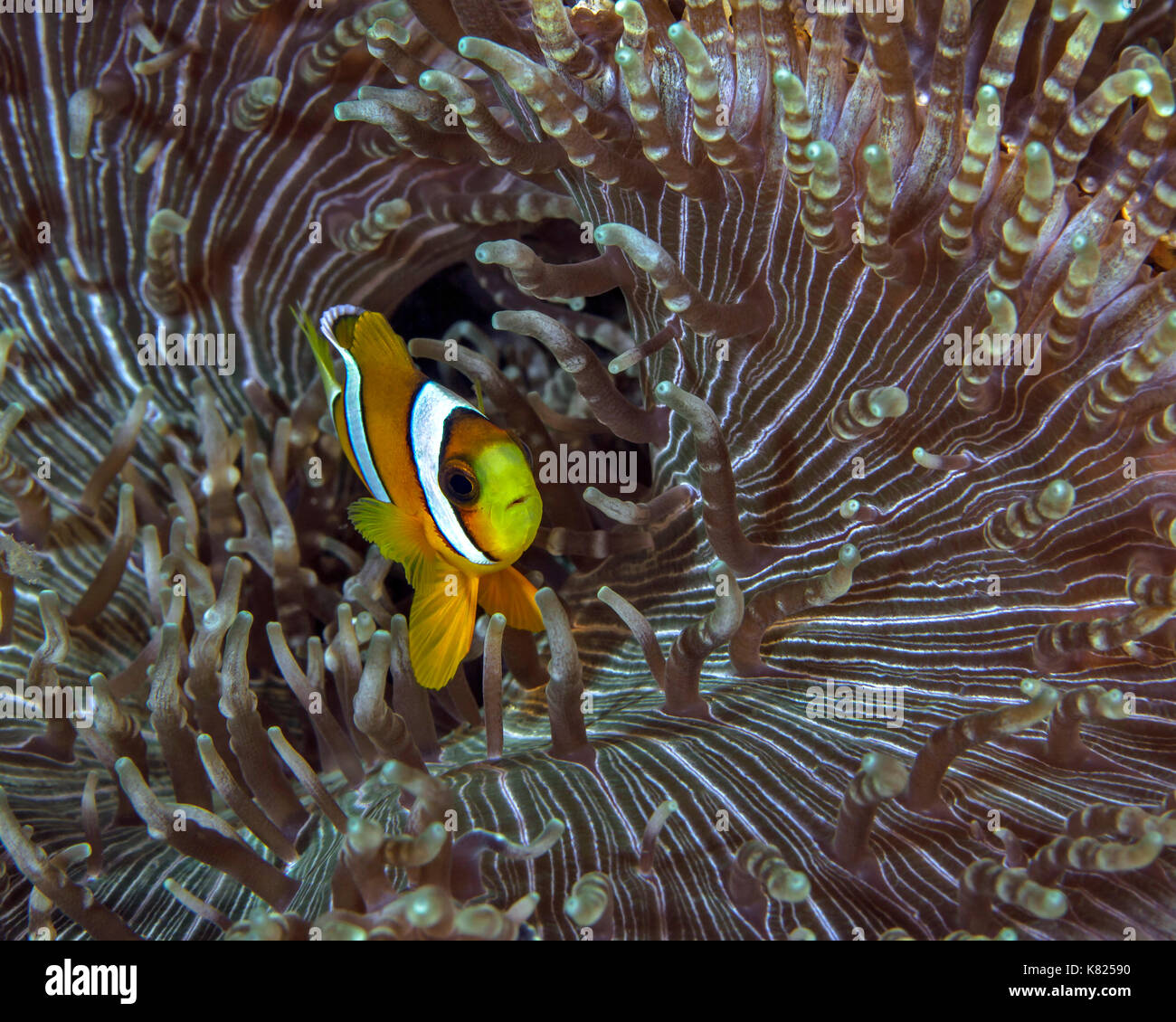 Two-banded clownfish (Amphiprion bicinctus) hovers over mouth of beaded-tentacle anemone (Heteractis aurora). Ambon, - Stock Image