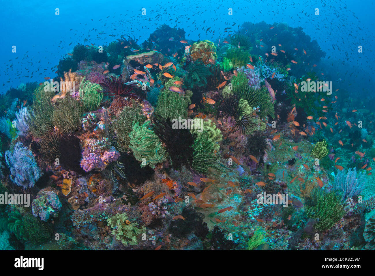 Coral reef populated with colorful crinods. Puerto Galera , Philippines. - Stock Image