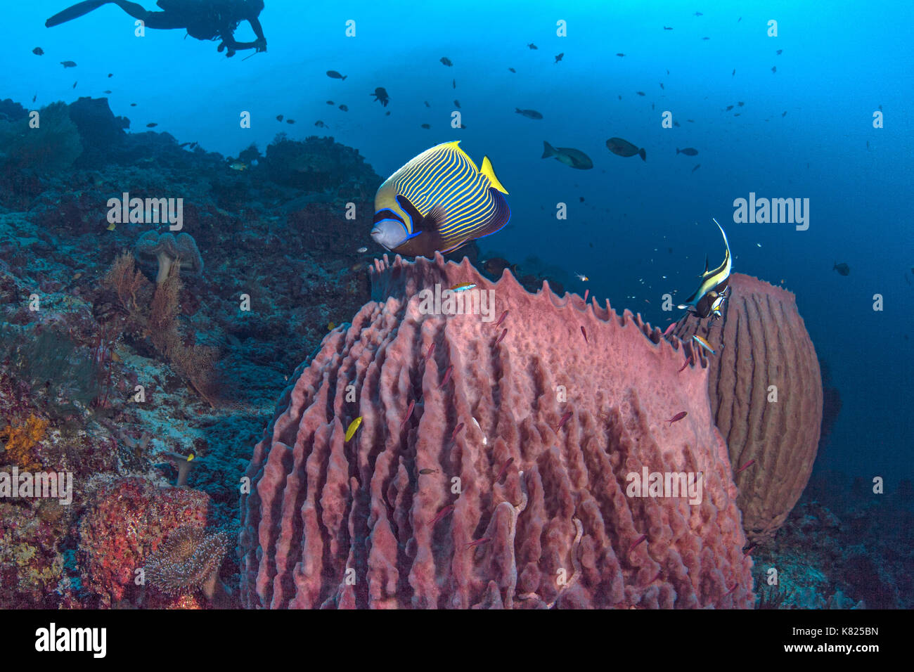 Emperor angelfish and Moorrish Idol hover over large barrel sponges. Spartly Island, South China Sea. - Stock Image