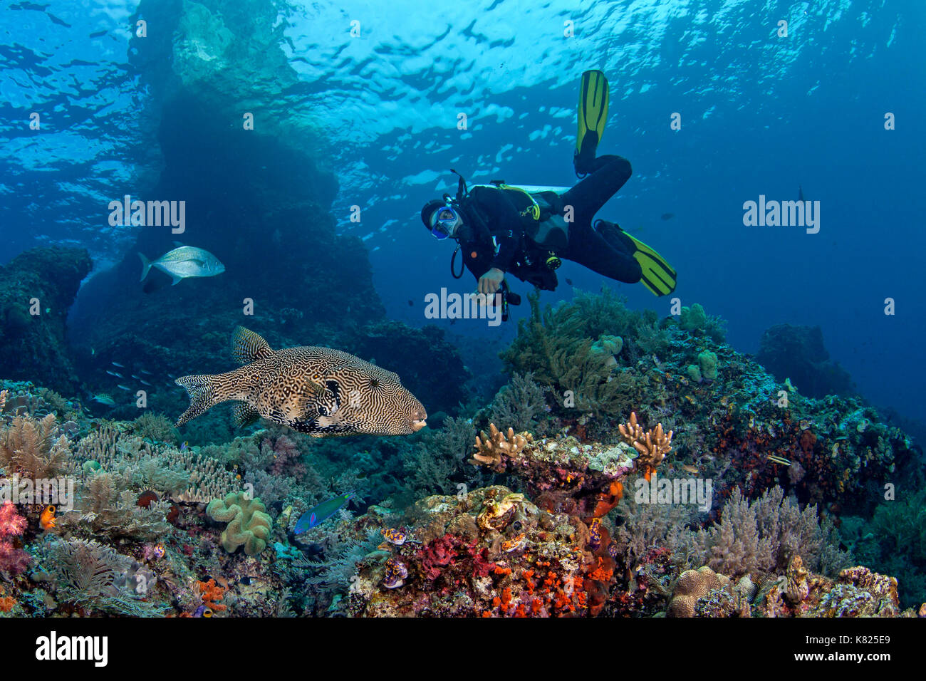 Scuba diver looks on as large map pufferfish (Arothron mappa) swims through coral reef. Raja Ampat, Indonesia. - Stock Image