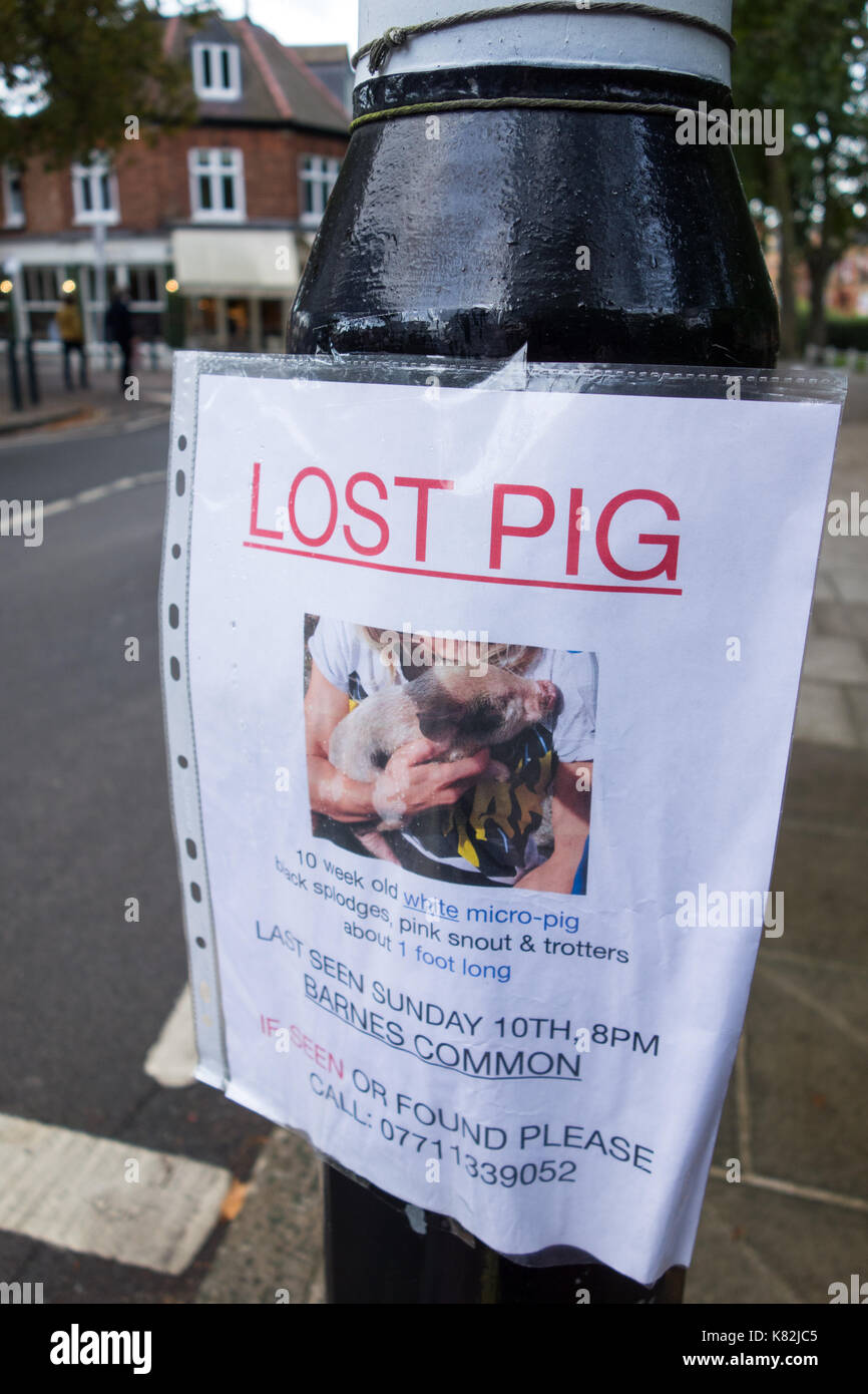 A lost pet pig (Sus scrofa domesticus) poster in SW London, UK - Stock Image
