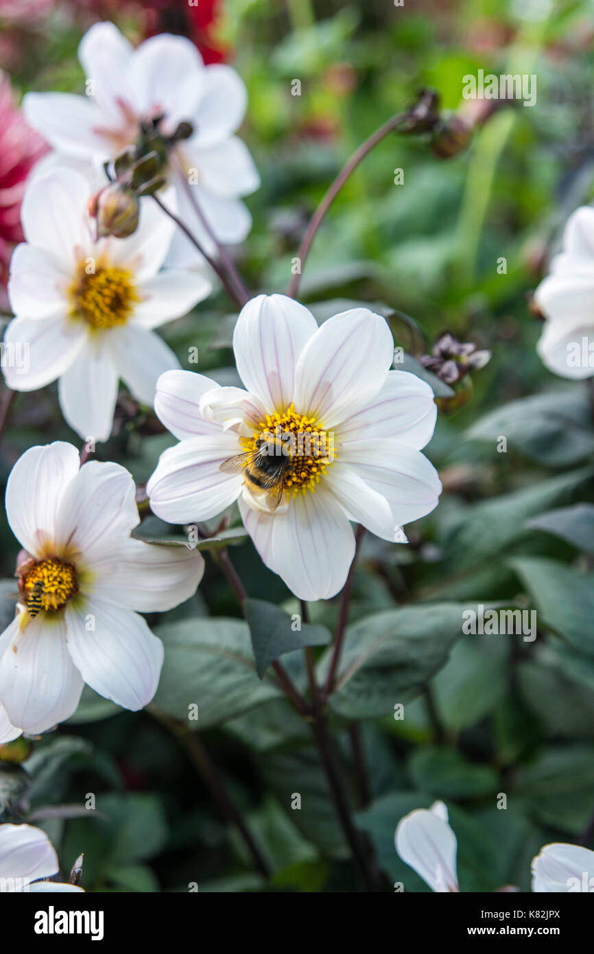Where daisy's being pollinated in summer in England - Stock Image