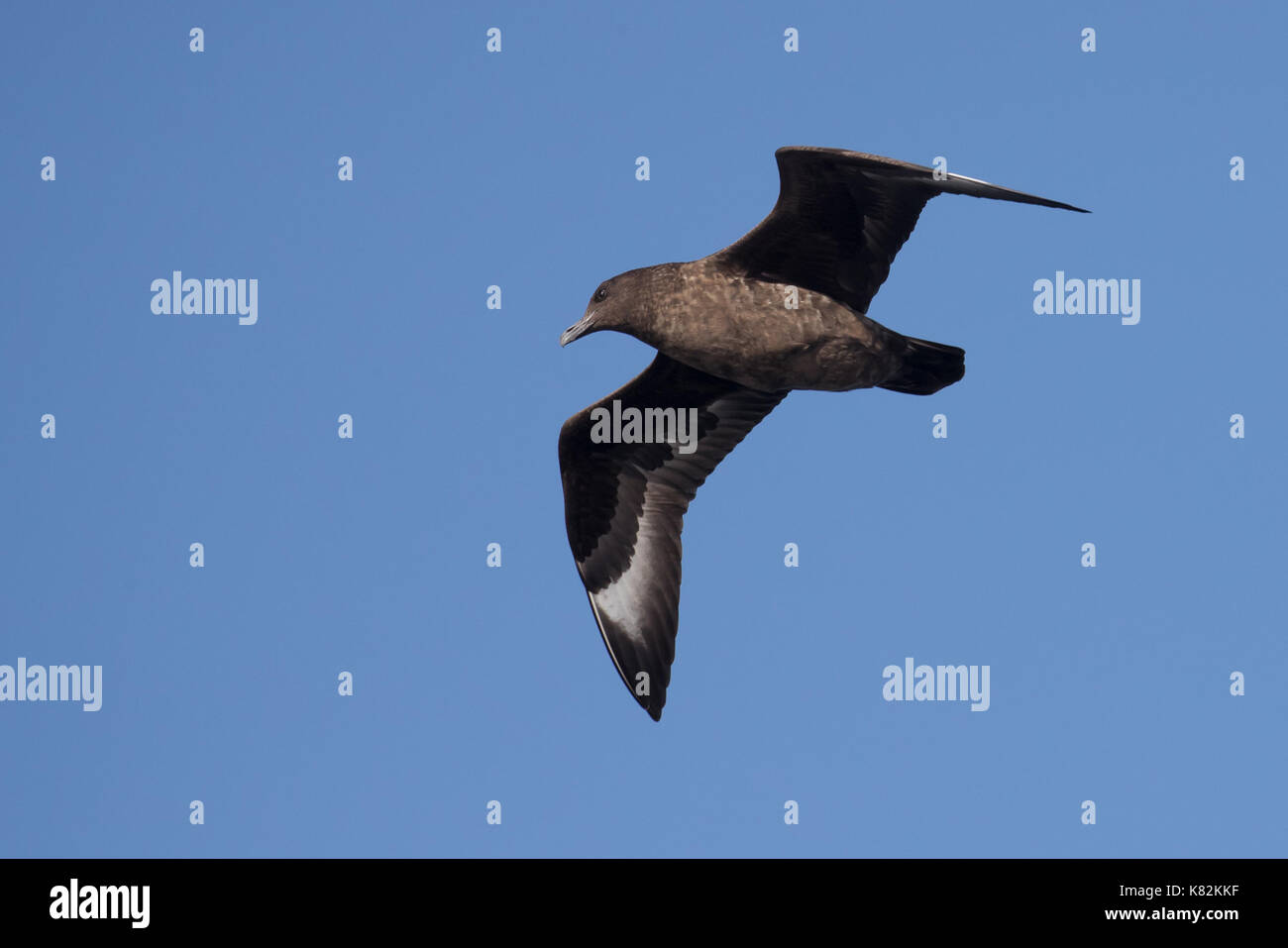 Great Skua - Stock Image