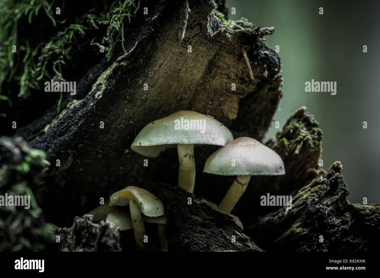 Mushrooms on tree, forest mushrooms, mushrooms on trunk, wild fungus. Stock Photo